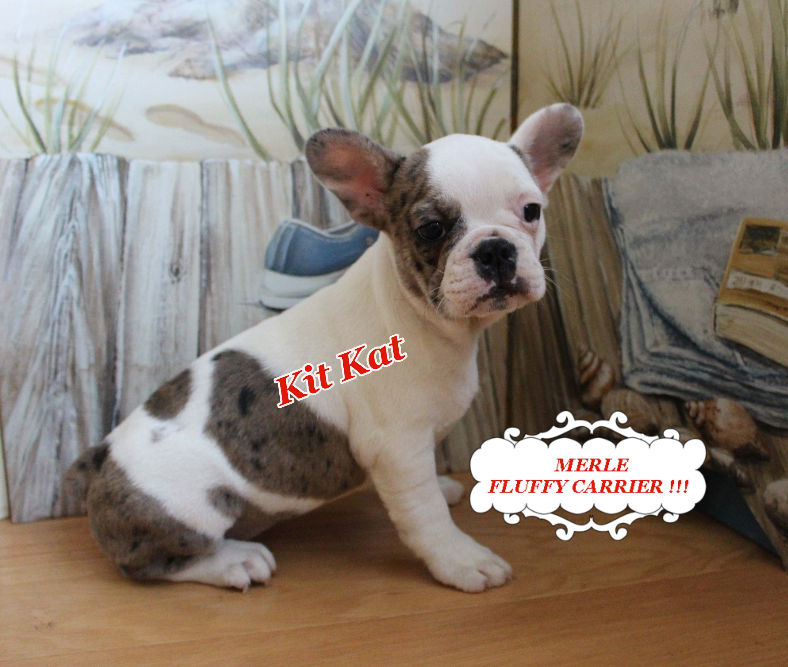 #FrenchBulldogPuppy #AvailPuppy #FluffyFrenchie #MerleFrenchie #SouthernTerritoryFrenchies