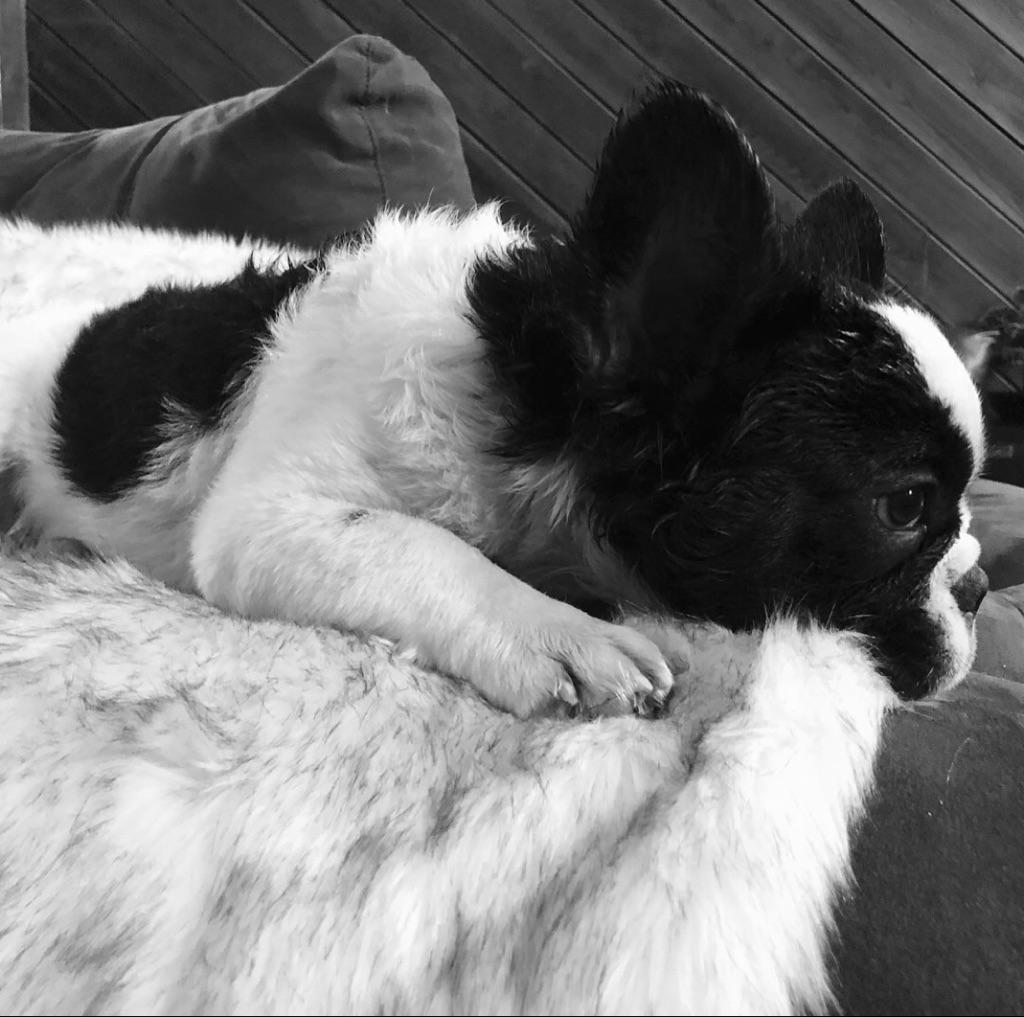 #FluffyFrenchBulldog #FluffyFrienchie #FrenchBulldogPuppy #RareFrenchiePuppy