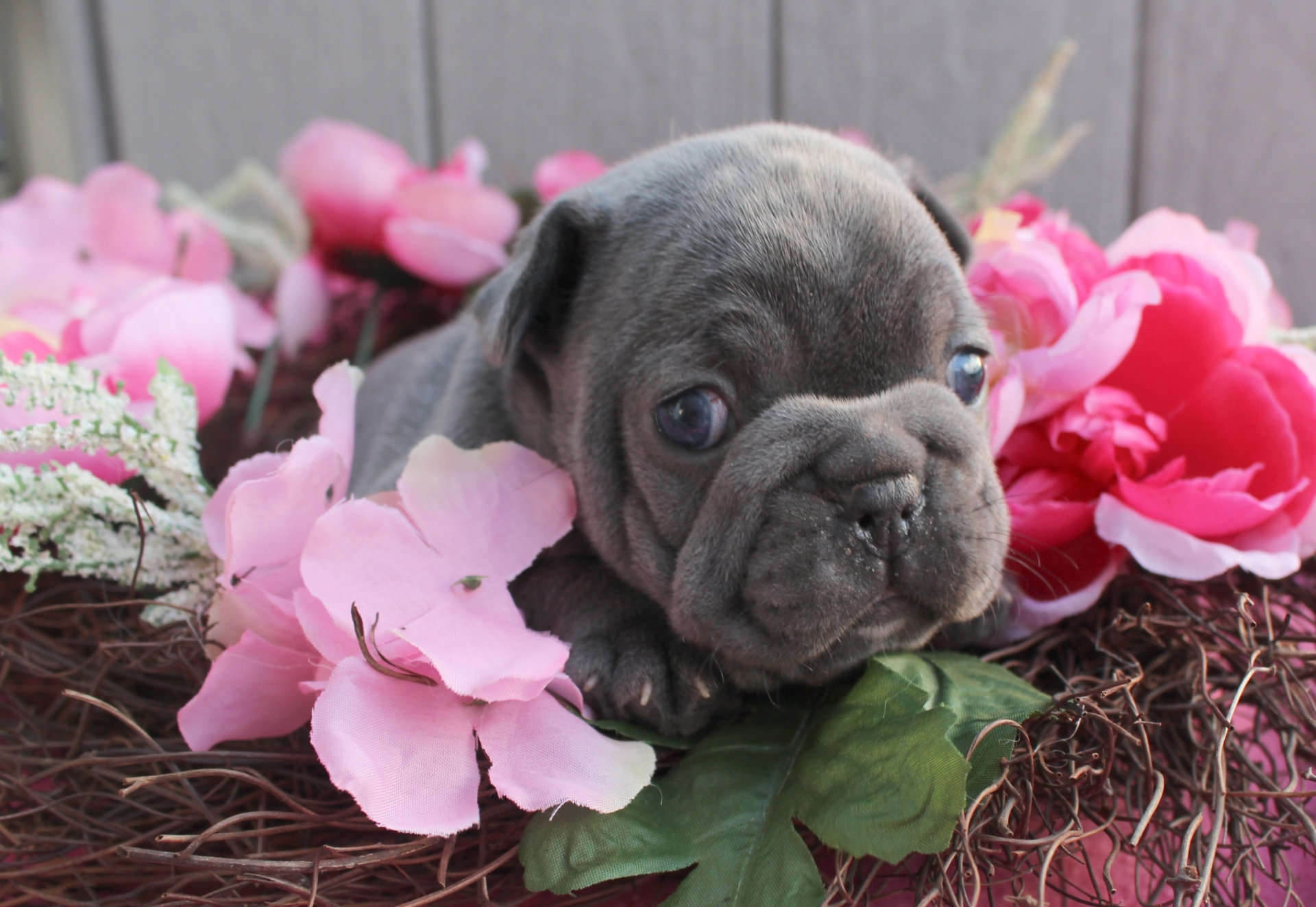 Female Lilac French Bulldog Puppy Available