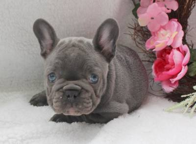 WOW !!!  Lilac French Bulldog available
