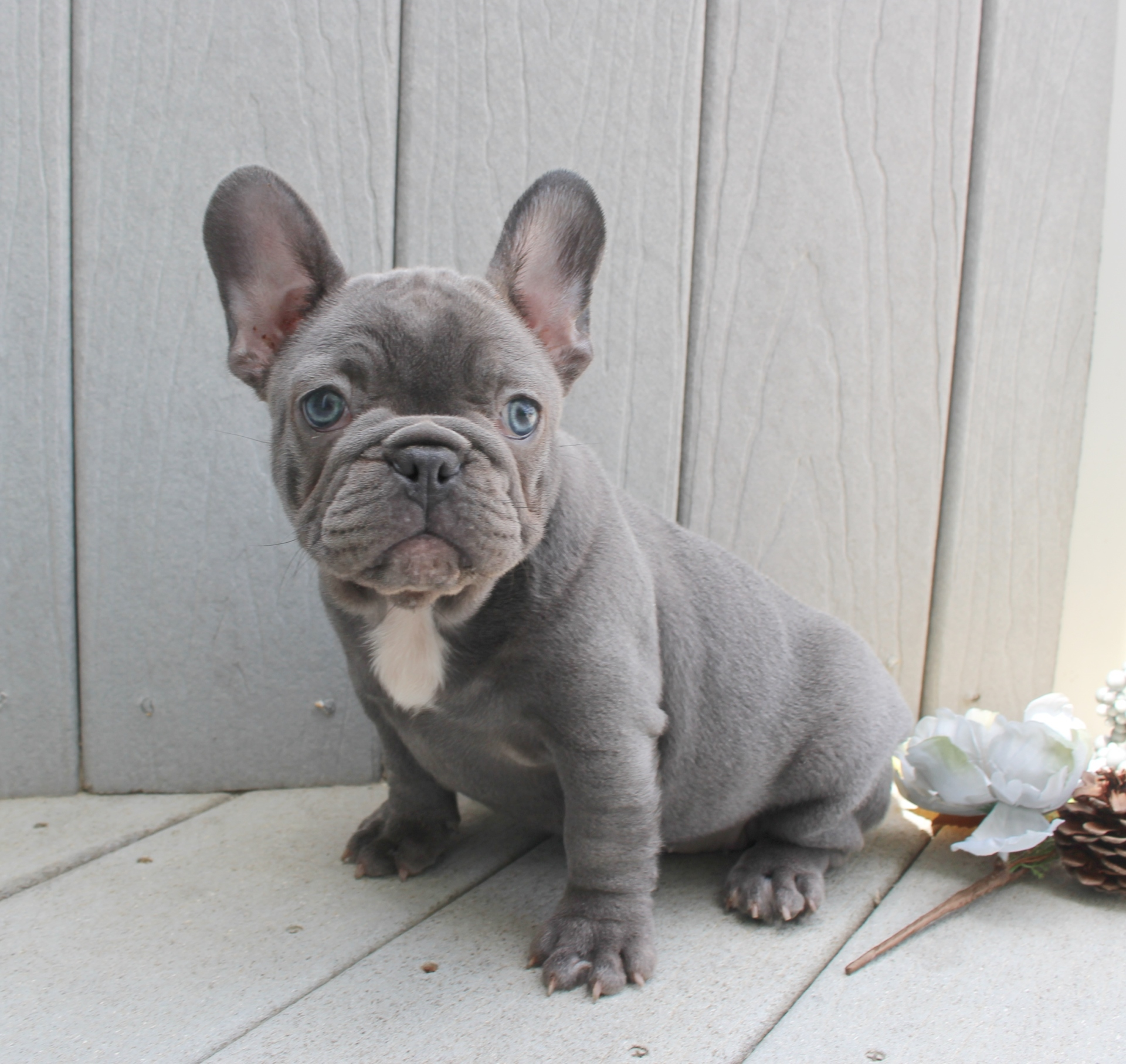Lilac Female French Bulldog