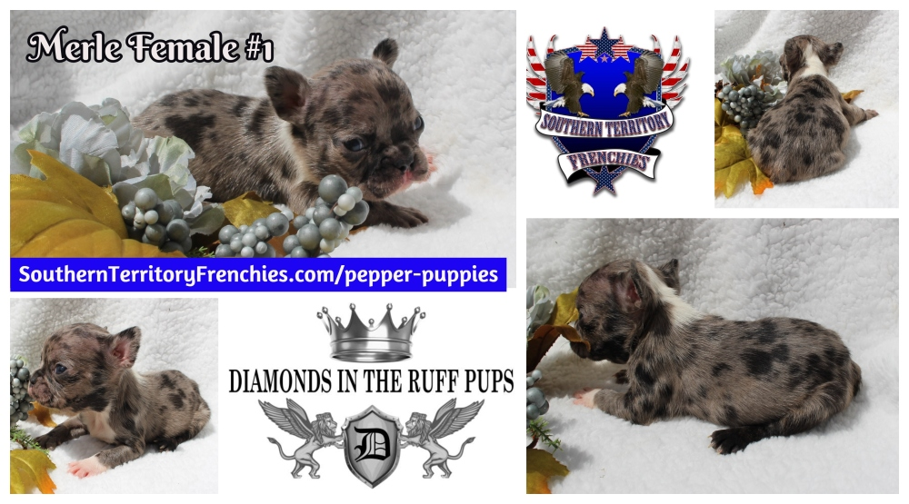 Fawn Merle French Bulldog Puppy Avail.