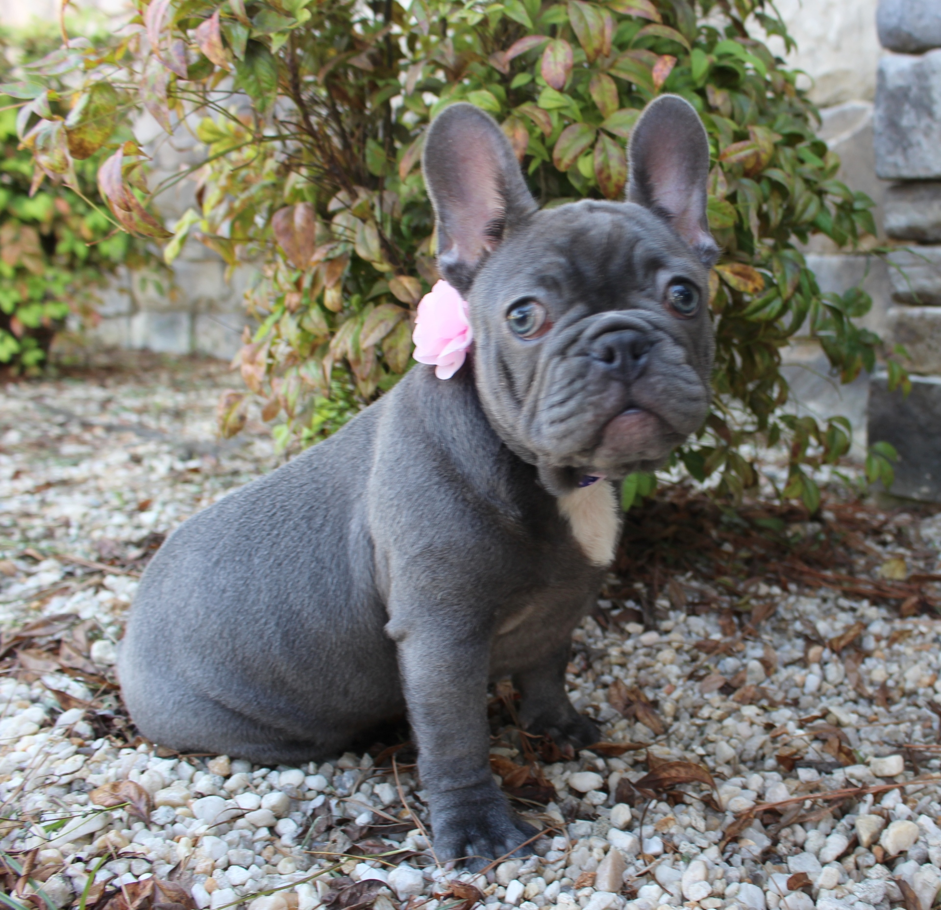 #FrenchBulldogPuppies #LilacFrenchBulldog #Frenchie #AvailablePuppies #AKCRegFrenchBulldog #SouthernTerritoryFrenchies #Precious