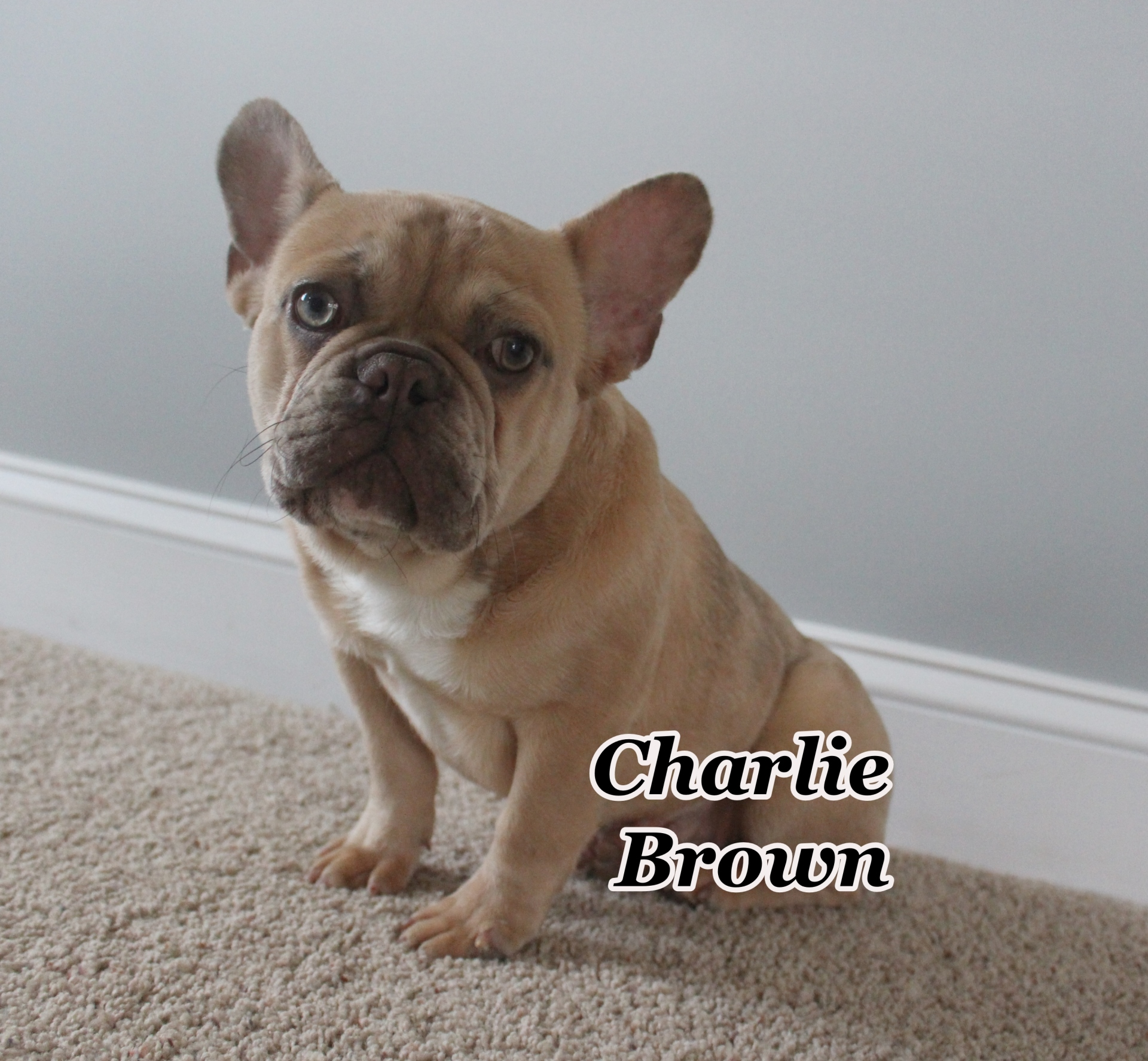 #FrenchBulldogPuppies #MerleFrenchBulldog #Frenchie #AvailablePuppies #AKCRegFrenchBulldog #SouthernTerritoryFrenchies #CharlieBrown