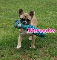 #Mercedes #Longhairfrenchie #FluffyFrenchieCarrier #Carrier #Frenchieavailable #RareFrenchie