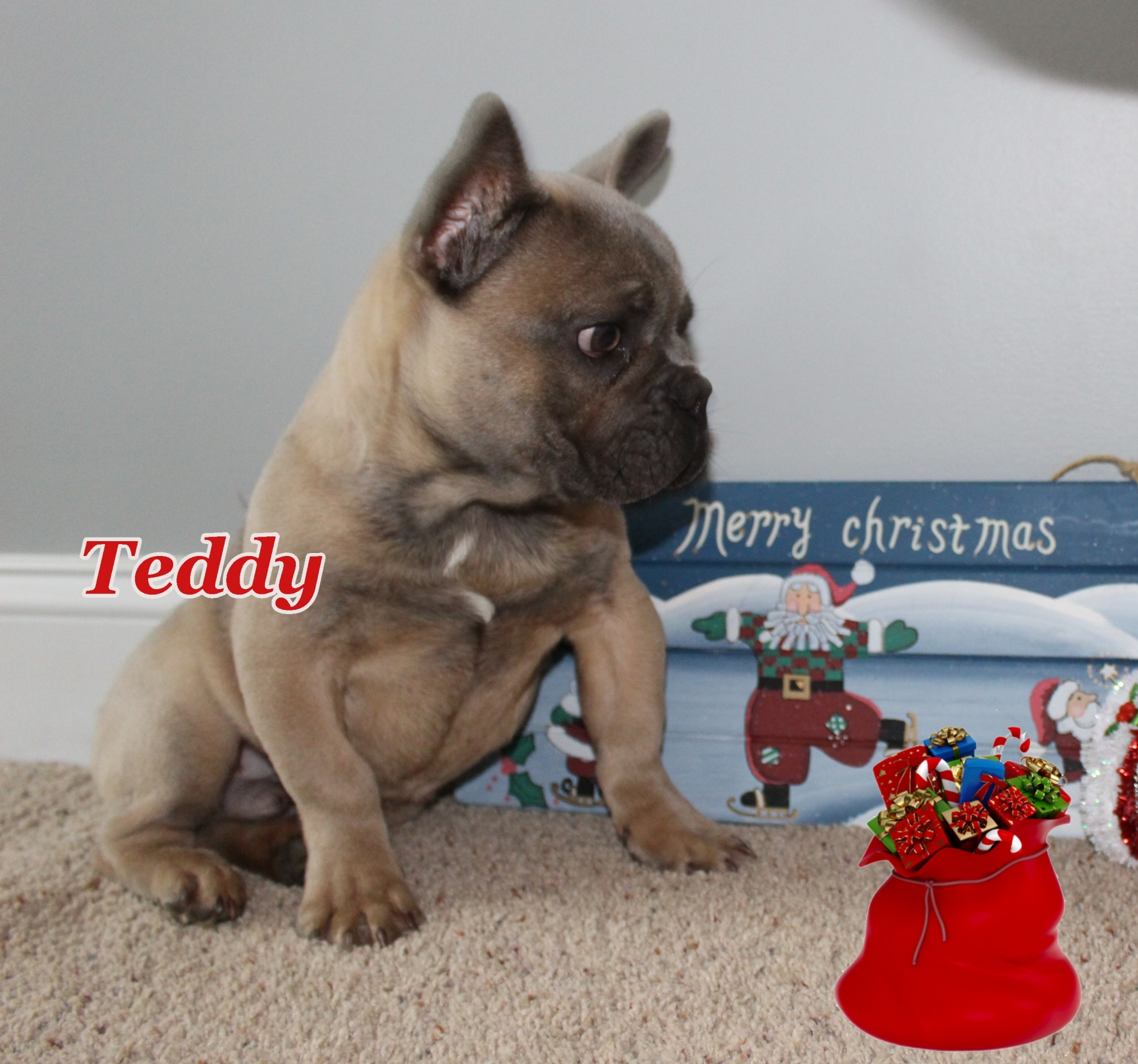 #Teddy #FrenchBulldog #Frenchie #BlueFrenchBulldog #AvailPuppies #FrenchieLove #SouthernTerritory